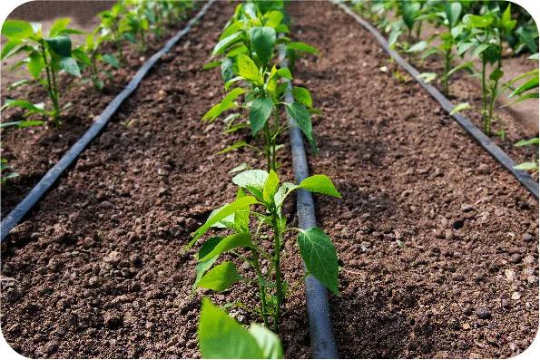 Druppelslangen houden de planten in topconditie.